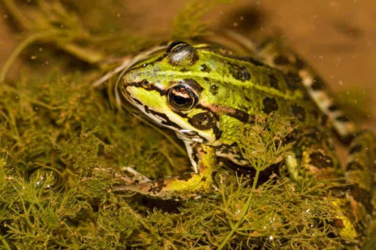 Kan grodor andas under vatten?