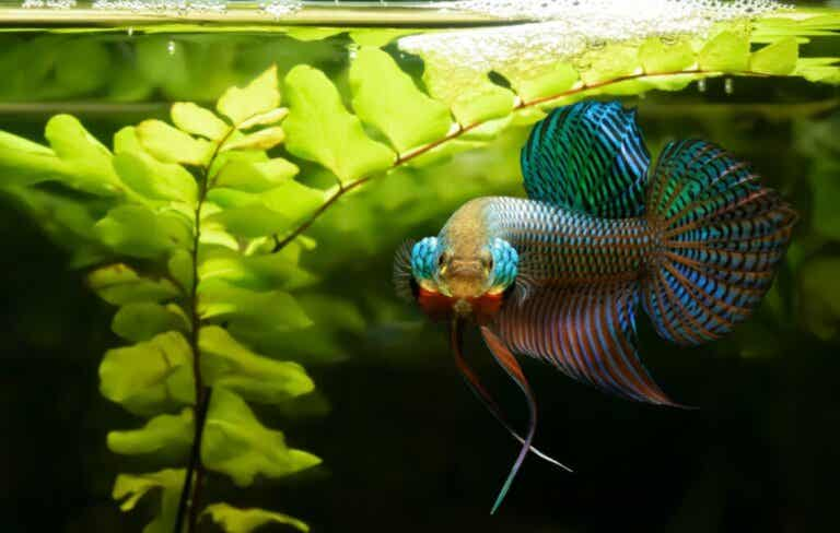 Varför är Siamesisk kampfisk så aggressiv?