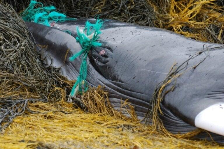 Delfiner, valar och sköldpaddor: offren för föroreningar i Sri Lanka