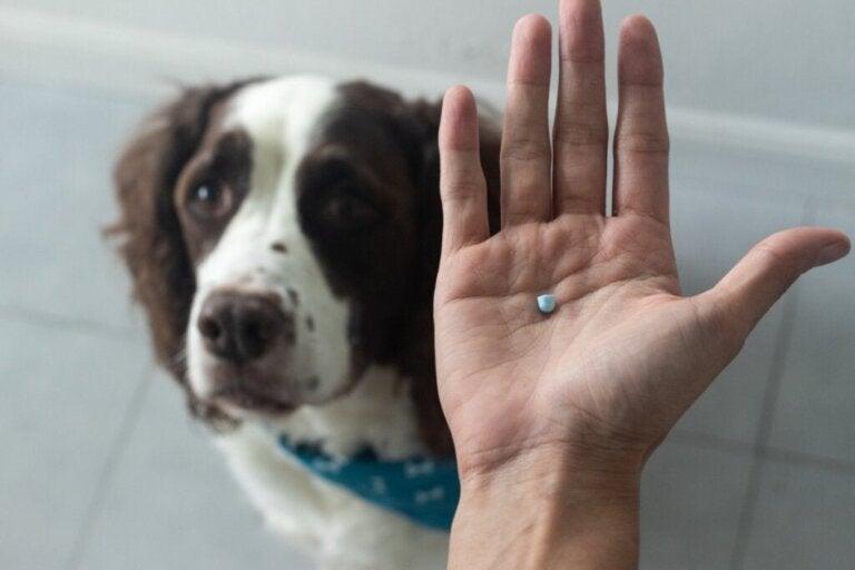 Diklofenak för hundar: användning och dosering