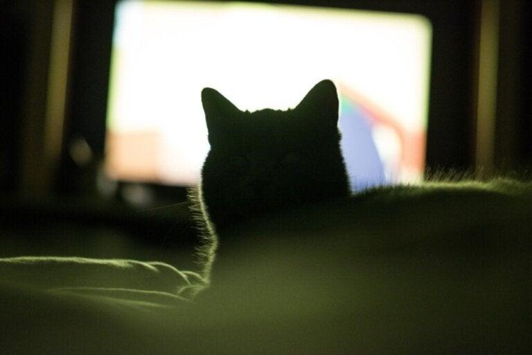 Varför gillar min katt att titta på tv?