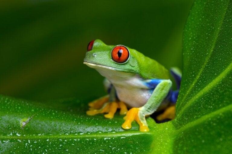 Rödögd bladgroda: habitat och egenskaper