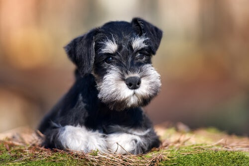 Schnauzers: Our Best Friends