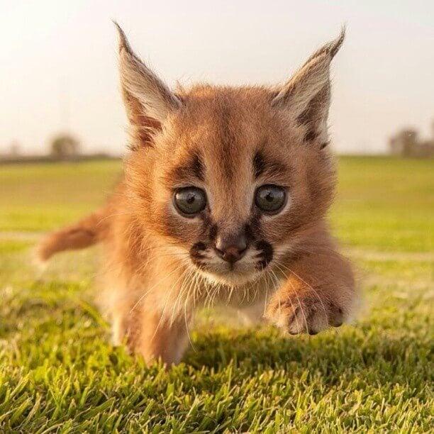 caracal cub in field
