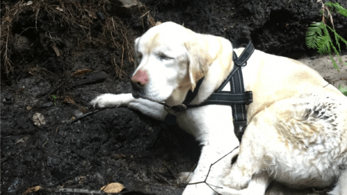 Blind Labrador Retriever Survives in the Woods for a Week