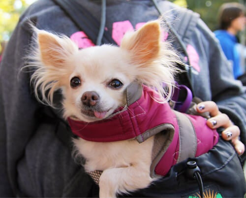 chihuahua in woman's arms