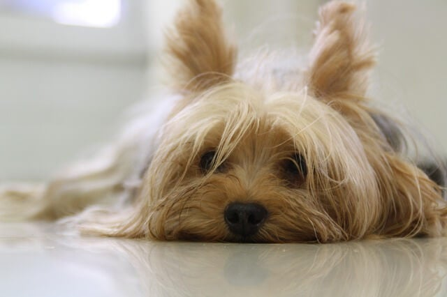 Yorkshire Terrier lying down looking at the camera