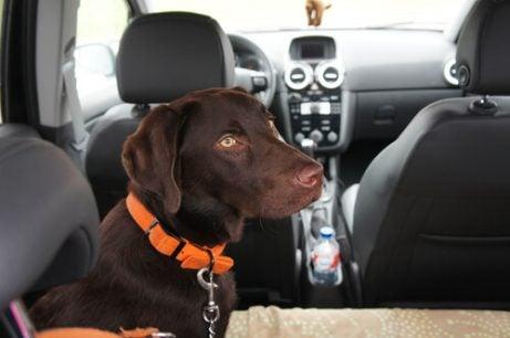 Hund i baksetet på bil