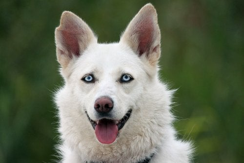 A white husky with blue eyes.