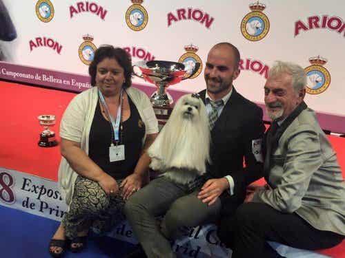 A Bichon Maltese: Best Dog in Spain