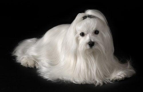 A Bichon Maltese dog.