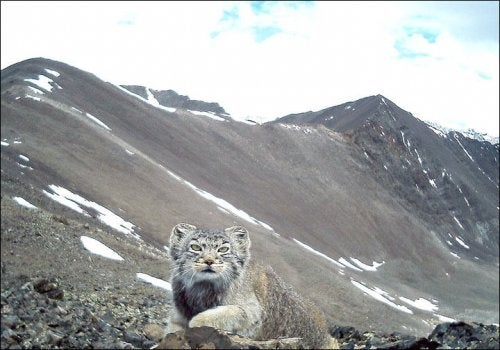 Endangered Cat Caught on Camera in Russia