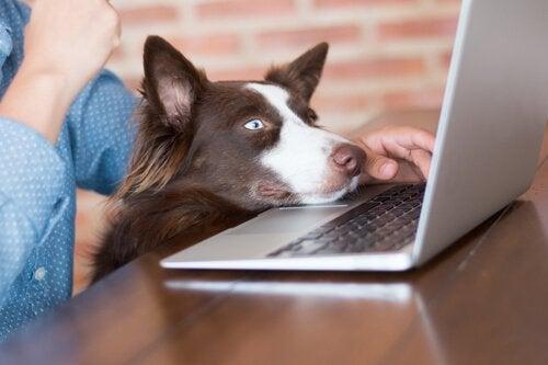 A dog watching a laptop computer screen.