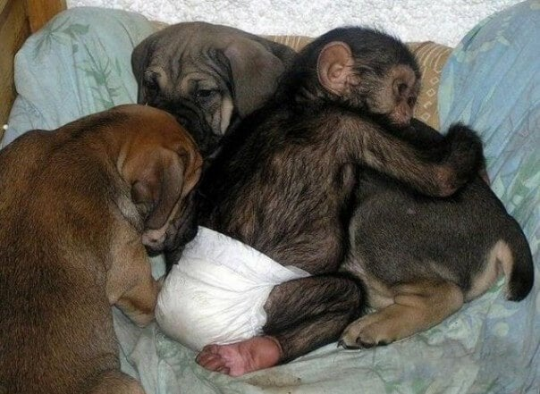 dog that cares for orphan chimpanzees: Princess and the chimps.