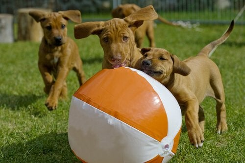 Dogs chasing a beach ball