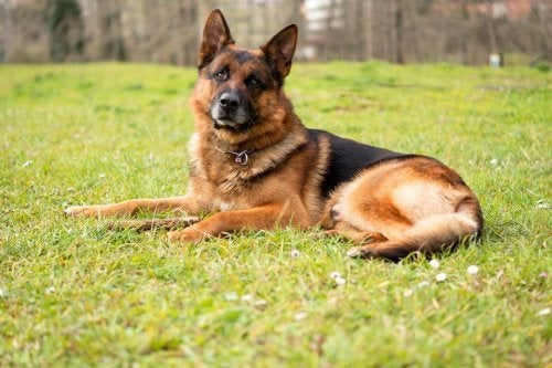 Grieving the loss of a pet: a German Shepherd.