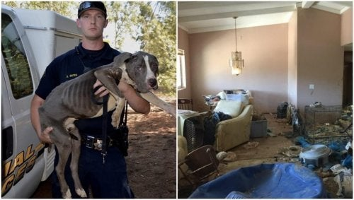 40 Abandoned Pit Bulls Are Rescued from Extremely Bad Conditions: How to Rescue an Abandoned Animal