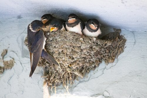 swallow in a nest.