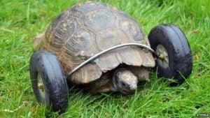 A tortoise with prosthetic wheels.