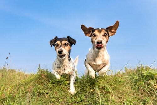 Two dogs running through a field.
