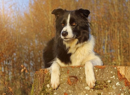 border collie on a stump