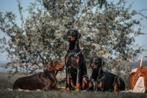 Doberman Pinscher: A Peculiar and Elegant Breed