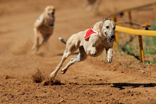 Dog Racing Banned in Argentina