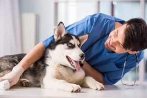 A dog being examined by a vet, potentially for canine parvovirus