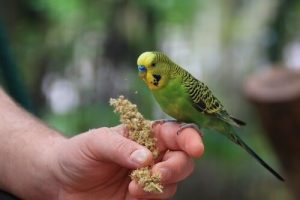 Parakeet on its owner's finger, which may be suffering from one of the parakeet illnesses