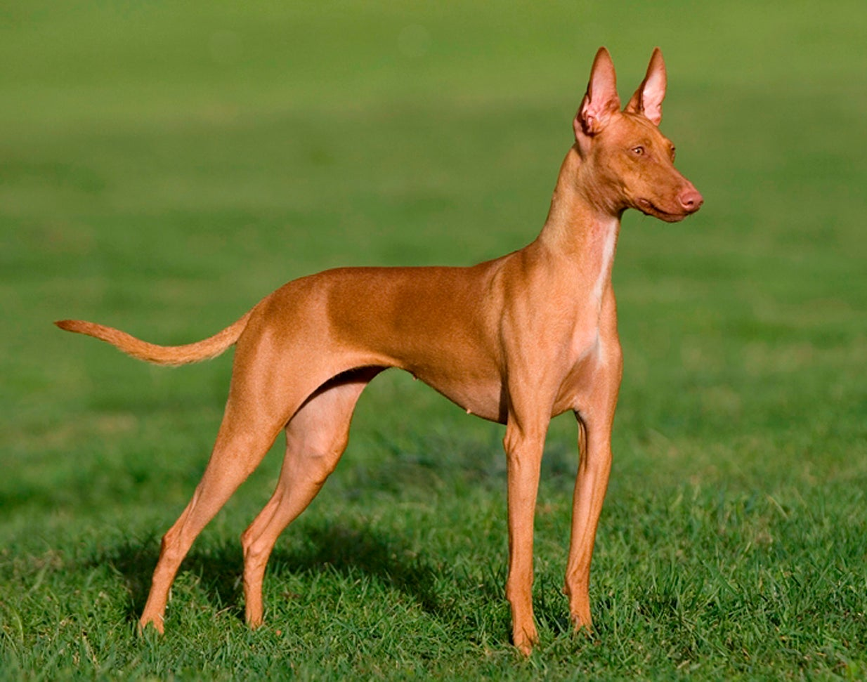 Podenco Canario standing in the grass