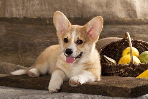 Corgi dog breed : a balanced dog.