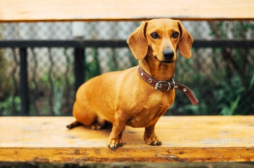 Dachshund on a bench