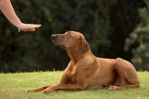 A dog being told to stay by owner who is trying not to make some of the 6 dog training mistakes