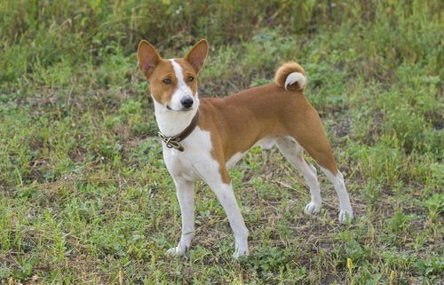 Basenji, the dog that barks the least