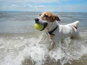 Dog running in sea water with a ball