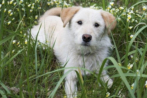 What is a Dog's Third Eyelid?