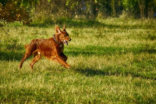 Dog running through a field