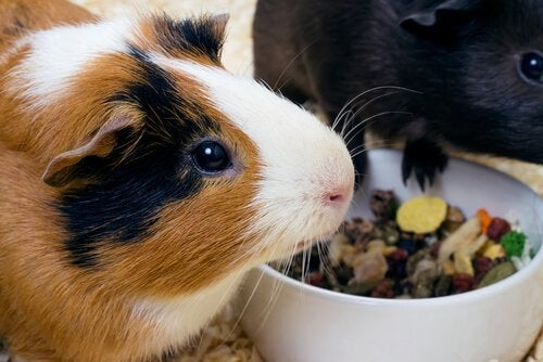 Guinea pigs eating fruits and veggies