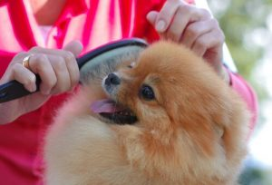 A small dog being groomed