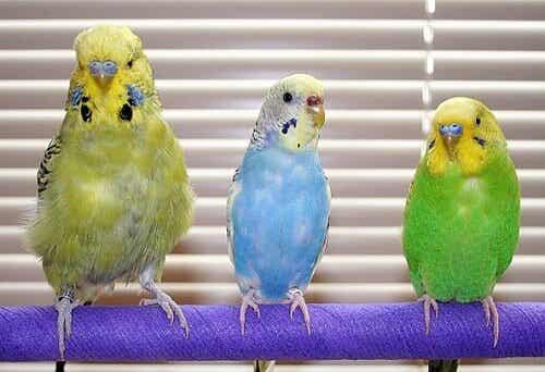 Parakeet Illnesses