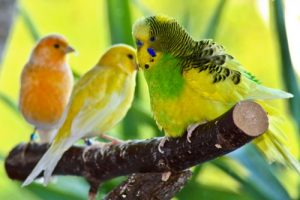 Three parakeets standing on a branch