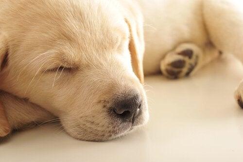 A white puppy sleeping