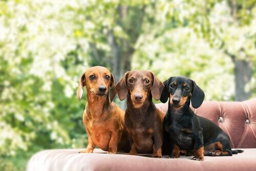 Three dachshunds sitting on a couch: FCI group 4.
