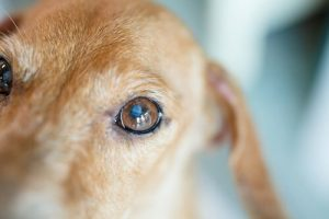 A white or blue circle in the eye is the main symptom of cataracts in dogs