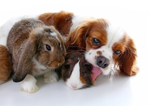A dog, rabbit, and guinea pig all having fun together