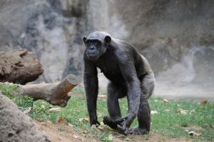 A chimpanzee, one of the animals that Jane Goodall spent so much time observing