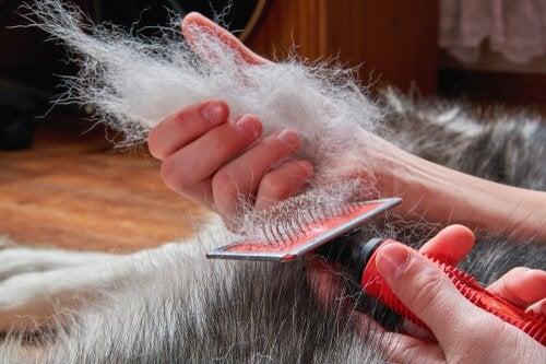 Brushing a dog's coat