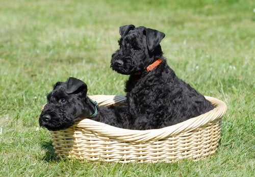 Two black terriers in a basket