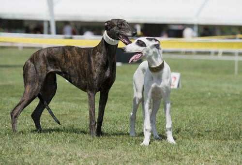 Two greyhounds standing at a race track
