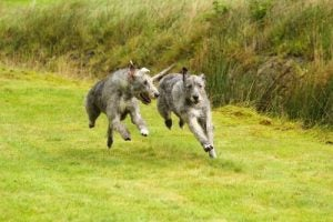 Two Irish Wolfhounds running through a field